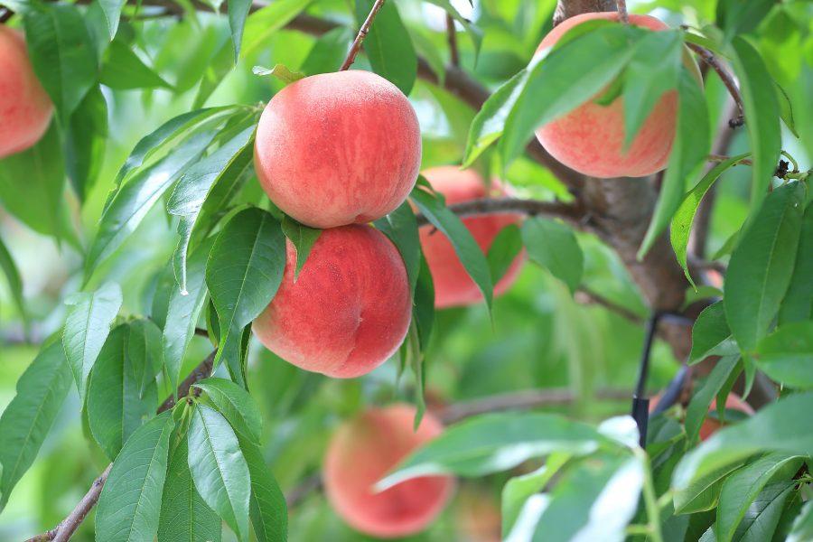 みんな大好き!福島の絶品フルーツをご紹介